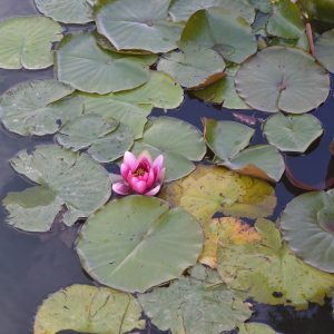 Lilies on lake